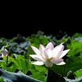 写真: 朝に咲く