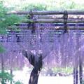写真: 新緑と藤
