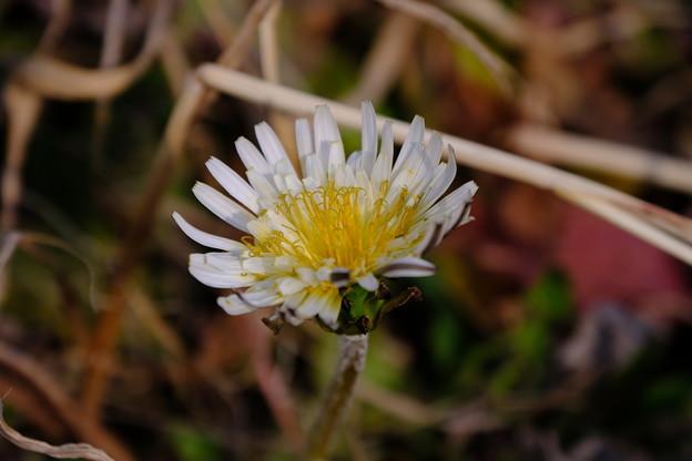 たんぽぽ白花