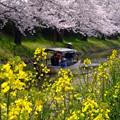 Photos: 桜と菜の花