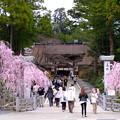 写真: 高野山の桜