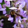 写真: 藤と蜂
