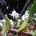 Photos: Bulb.laxiflorum majus