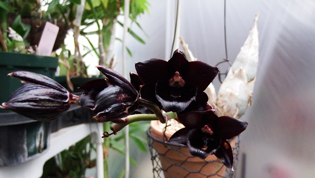 写真: Fredclarkeara After Dark 'S.V.O Black Pearl'FCC/AOS