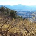 写真: 宝登山「ろうばい」