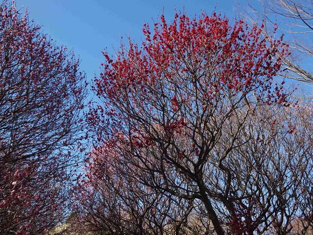 咲き始めました「越谷梅園にて」