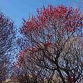 Photos: 咲き始めました「越谷梅園にて」
