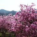 秩父路の春