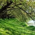 写真: 葉桜トンネル