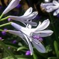 写真: お隣さんの花