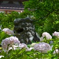 写真: 紫陽花と狛犬