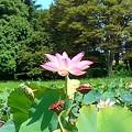 写真: 蓮の花の散る頃に