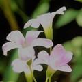 散歩道の白い花