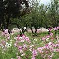 Photos: コスモス公園