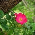 Photos: 大木に寄り添う赤い花