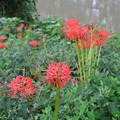 写真: 川縁に咲く彼岸花