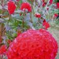 写真: ケイトウの花
