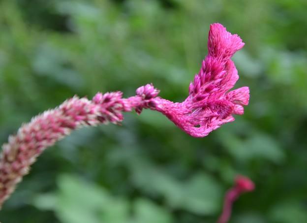 写真: ケイトウの花ーB