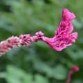 ケイトウの花ーB
