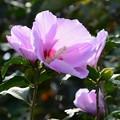 写真: 旅で出会った花「ムクゲ」