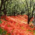 Photos: 彼岸花の流れ