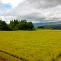 写真: 稲刈り待ち