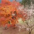 紅葉と冬桜のコラボ