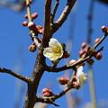 Photos: 梅が咲き始めましたーA