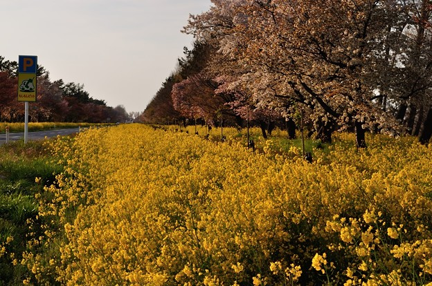 菜の花が咲く大潟村 28