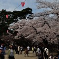 写真: 千秋公園の桜 2018-04-22_6