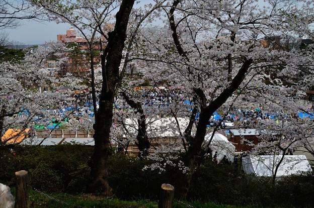 千秋公園の桜 2018-04-22_10