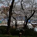 Photos: 千秋公園の桜 2018-04-22_10