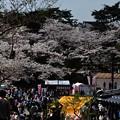 写真: 千秋公園の桜 2018-04-22_14