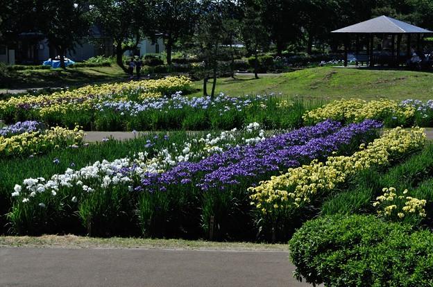 浅舞公園 あやめまつり 2018-06-25_12