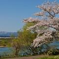 河畔の桜と白神山地