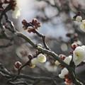 Photos: 梅のほころび♪