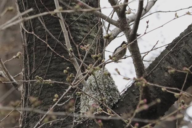 エナガちゃんの巣~♪