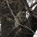 エナガちゃんの巣作り1~♪