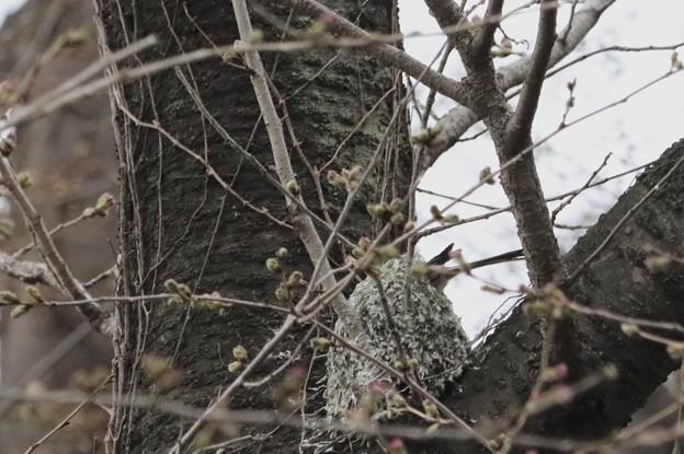 エナガちゃんの巣作り2~♪