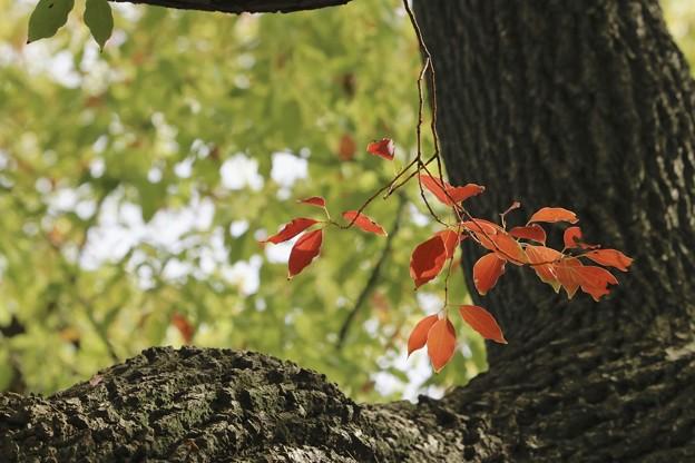 赤い葉っぱ~♪