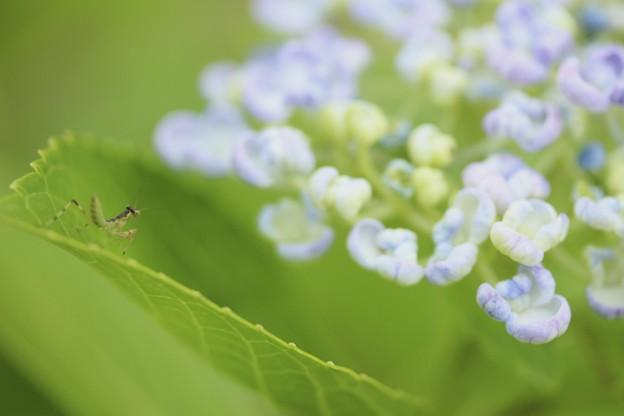 チビカマ ちゃんと紫陽花~♪