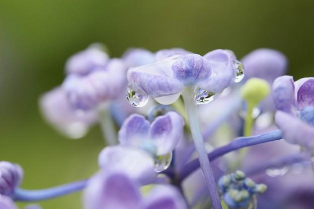 紫陽花玉~♪