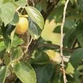 この柿は、甘いかなぁ~♪