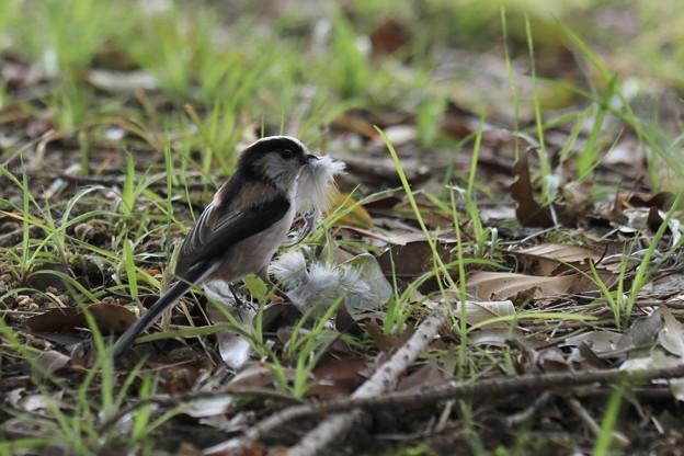 巣づくり中~中に敷く羽を集めています~♪