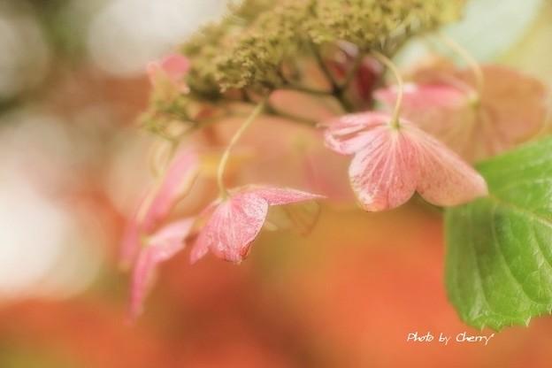 秋紫陽花の夢