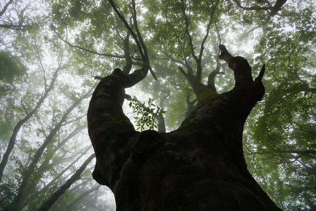 豊田市内ぶな林の夏-1