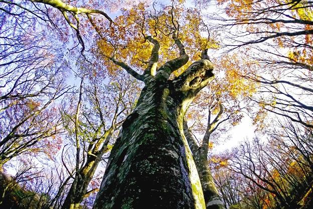 豊田市内ぶな林の紅葉-2