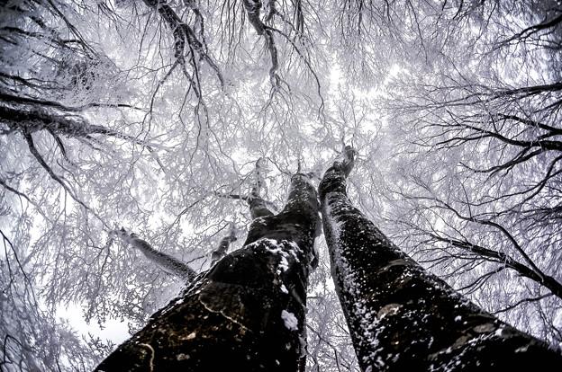 豊田市内ぶな林の冬-4