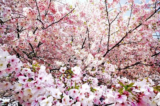 平成最終年の桜