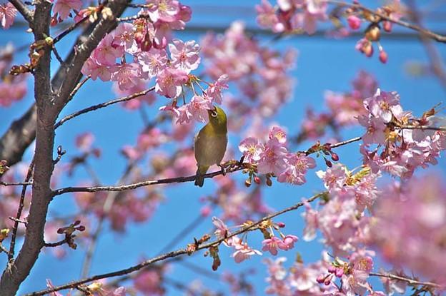 写真: カワヅザクラ(バラ科)